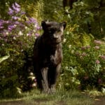 Sir Ben Kingsley Brings Bagheera To Life In The Jungle Book